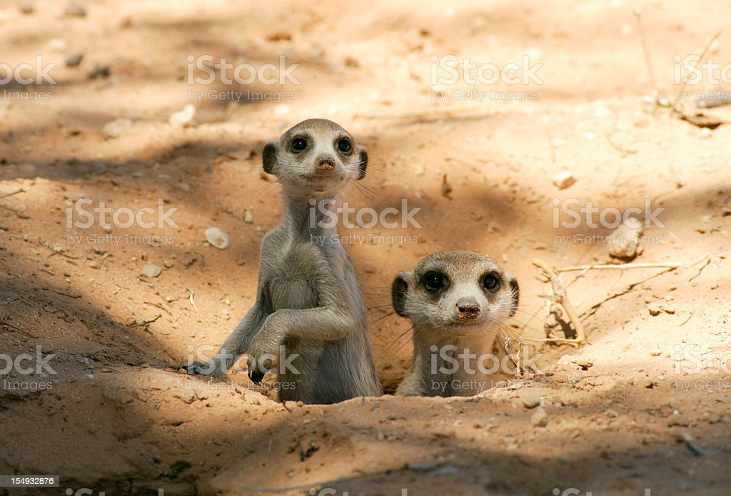 Meerkat mother and pup in there burrow, natural kalahari habitat stock photo