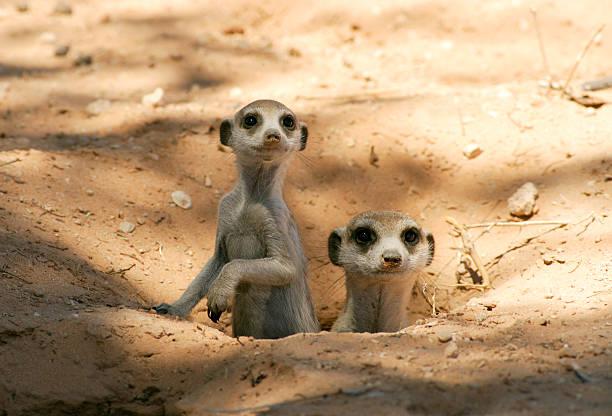 meerkat mother and pup in there burrow, natural kalahari habitat - meerkat stock photos and pictures