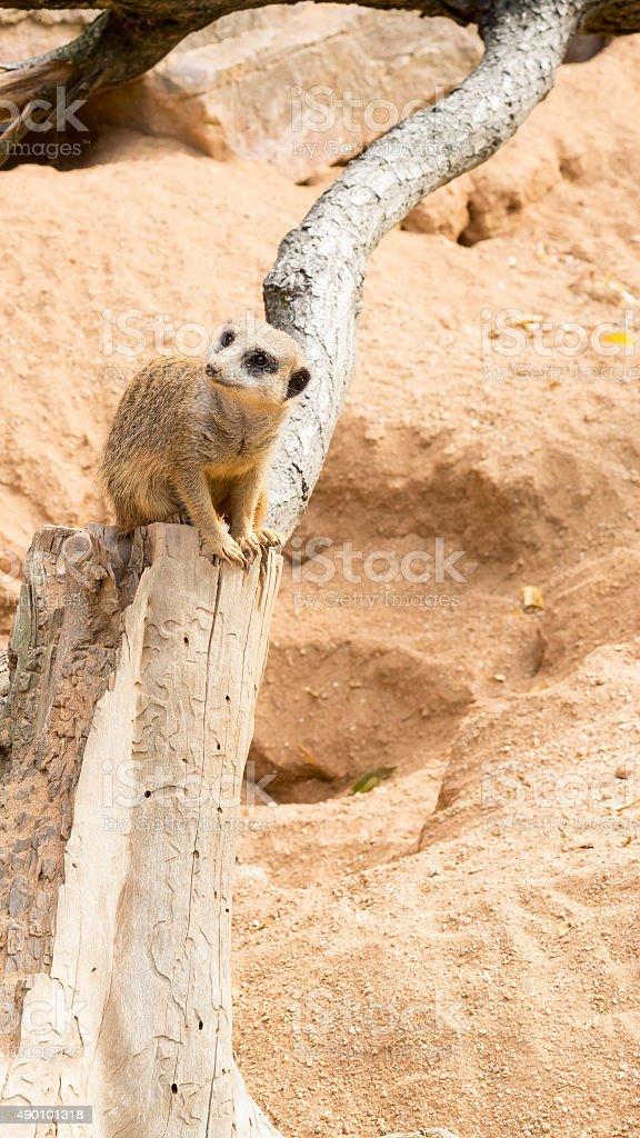 Meerkat observing its surrounding stock photo
