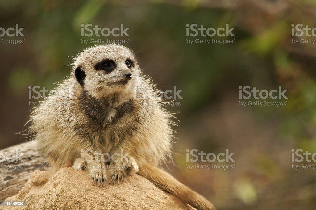 Meerkat on Guard royalty-free stock photo