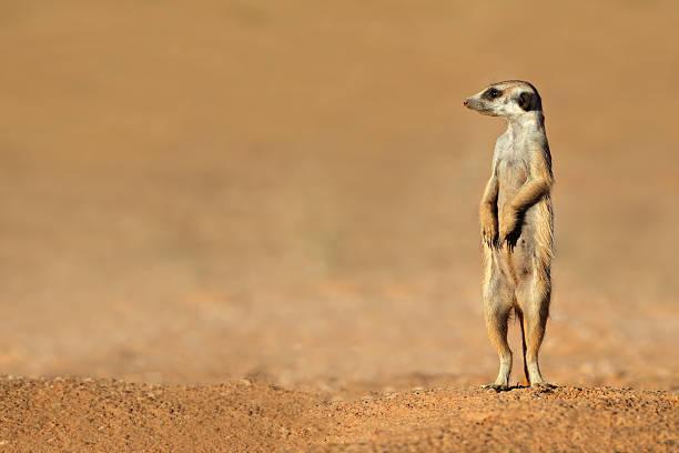 meerkat on guard - meerkat stock photos and pictures