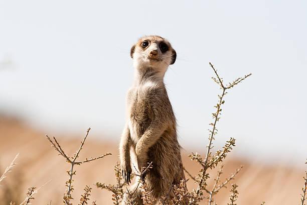 meerkat on the lookout - meerkat stock photos and pictures
