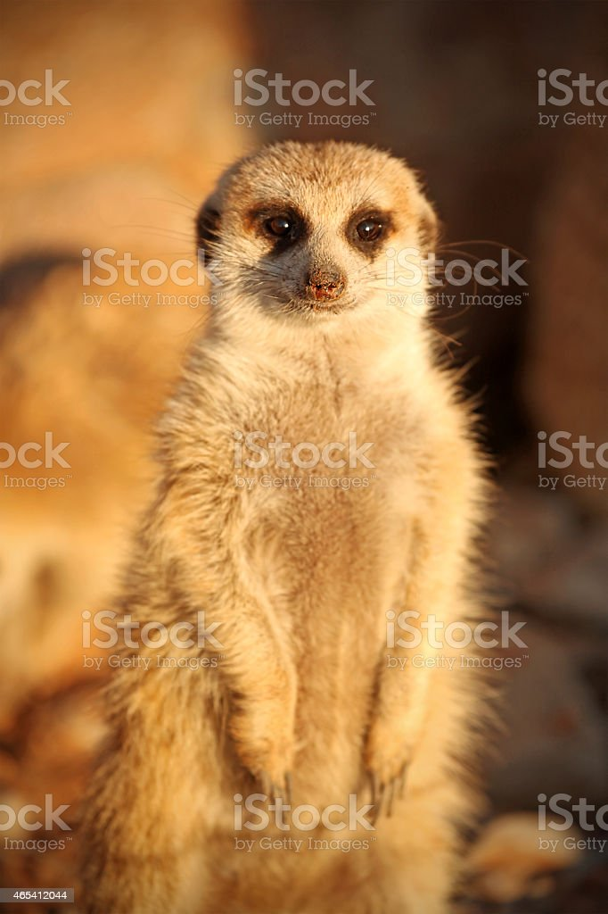 Meerkat on watch Front View Namibian Desert Africa stock photo