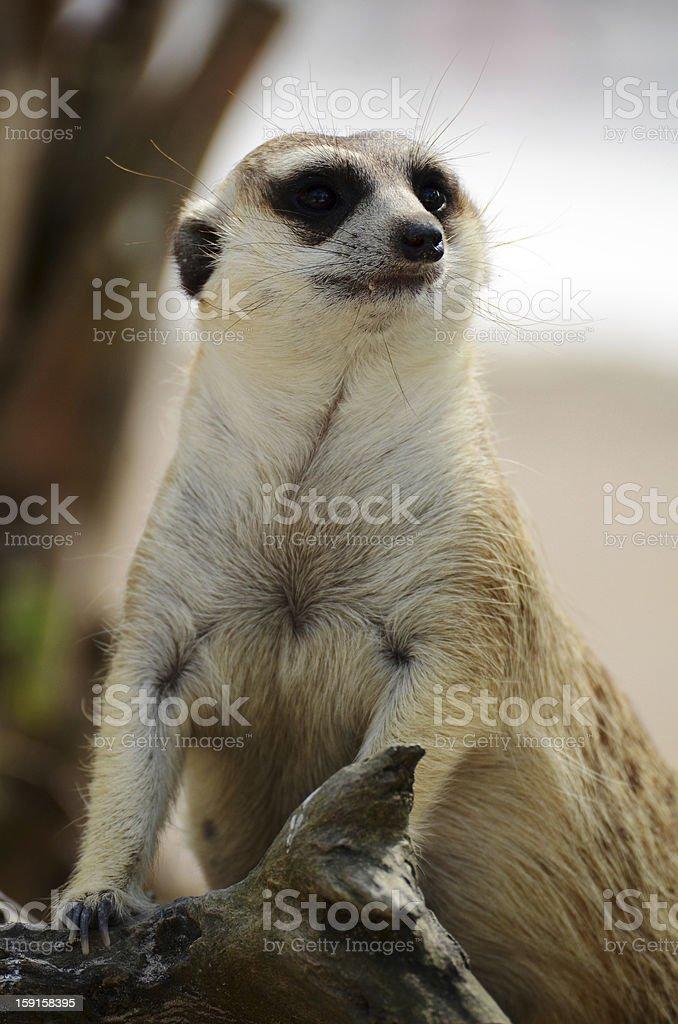 Meerkat or Suricate, Suricata suricatta royalty-free stock photo