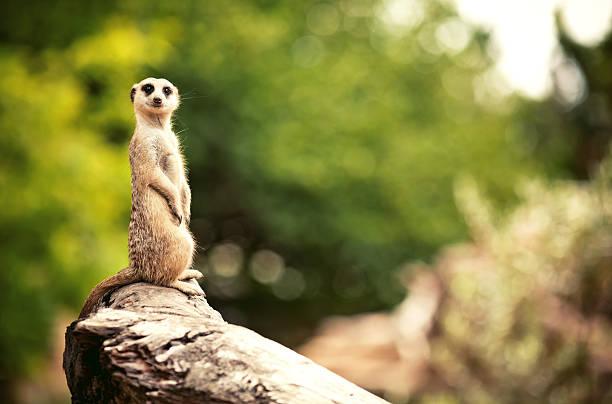meerkat (surikate) - meerkat stock photos and pictures