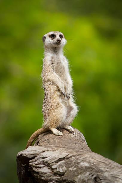 meerkat - meerkat stock photos and pictures