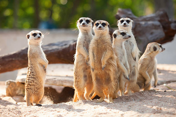 meerkat. - meerkat stock photos and pictures