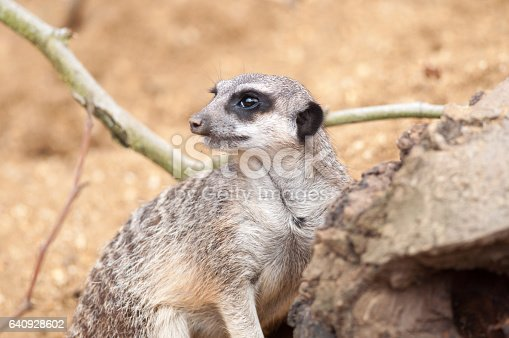 A lone meerkat on sentry duty outside the burrow