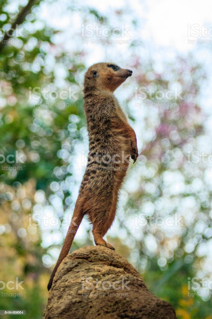 Meerkat (Suricata suricatta) royalty-free stock photo