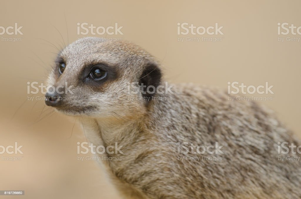 Meerkat royalty-free stock photo