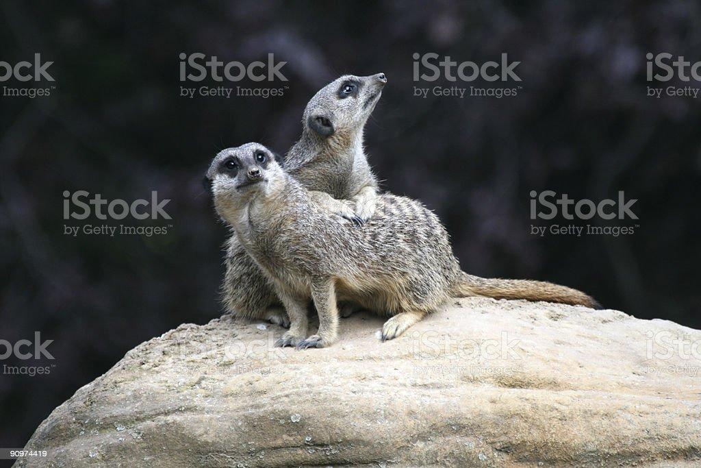 Meerkat sentinels stock photo