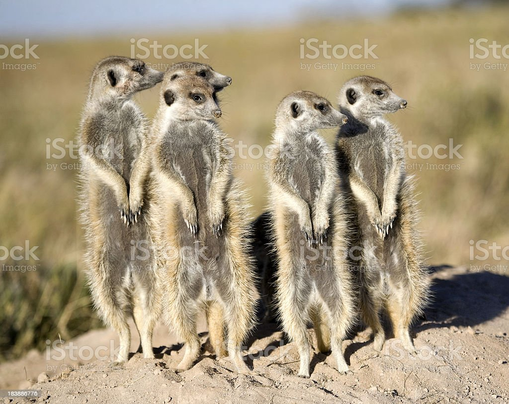 Meerkat Sentries royalty-free stock photo