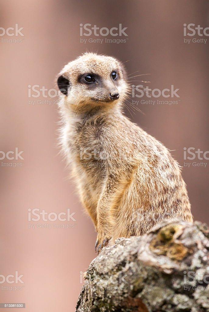 Meerkat standing and looking up stock photo