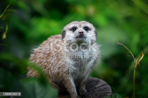 Cute meerkat standing looking for something. Suricata suricatta wild predators in natural environment. Wildlife scene from nature