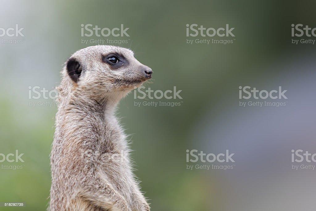 Meerkat (suricate) standing on guard stock photo