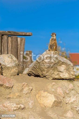 Meerkat standing on rock - portrait.