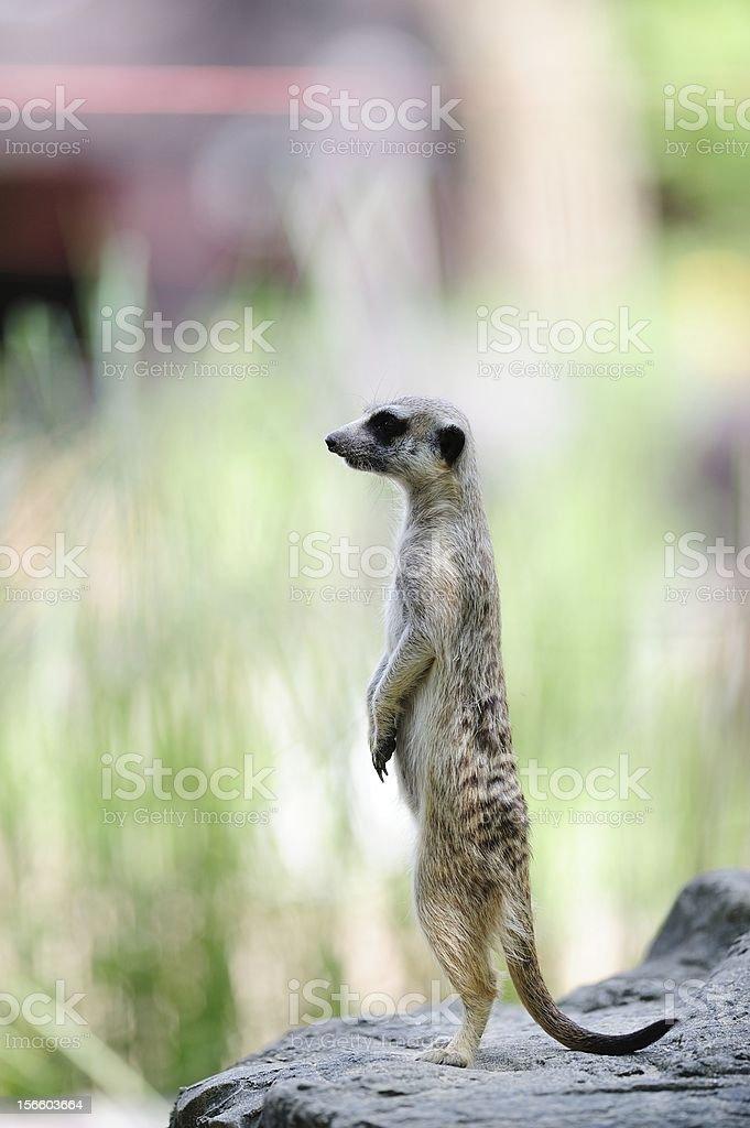 Meerkat standing royalty-free stock photo