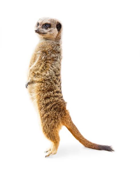 meerkat standing profile isolated - meerkat stock photos and pictures