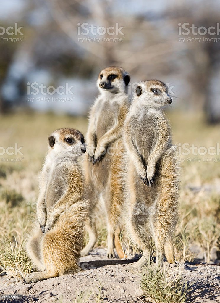 Meerkat Trio royalty-free stock photo