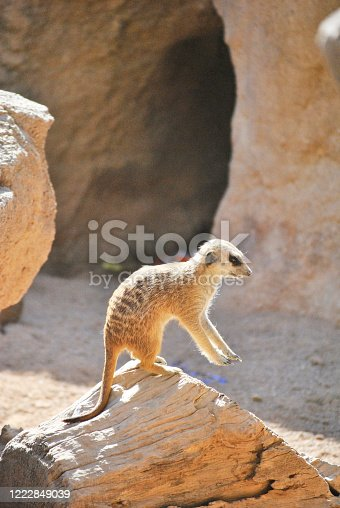 A meerkat watching the landscape with its legs raised