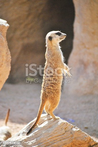 A meerkat watching the landscape with its legs raised. Colors of nature