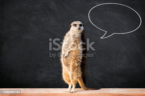 "Portrait of a meerkat standing and looking alert against blackboard with chalk speech bubble.  Funny ""back to school"" concept."
