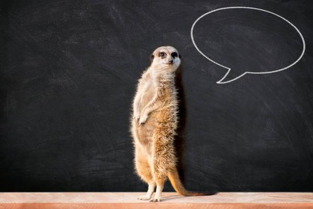 meerkat with speech bubble in classroom - meerkat stock photos and pictures