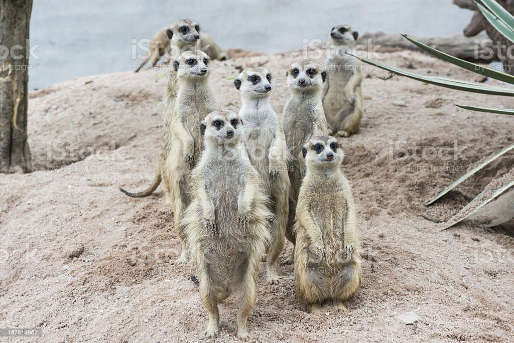 Meerkats crowd are standing on guard royalty-free stock photo