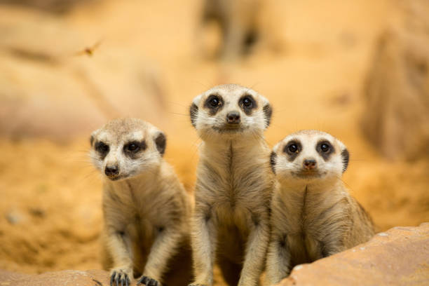 meerkats looking something - meerkat stock photos and pictures