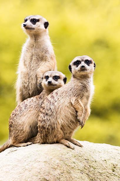 meerkats on guard - meerkat stock photos and pictures