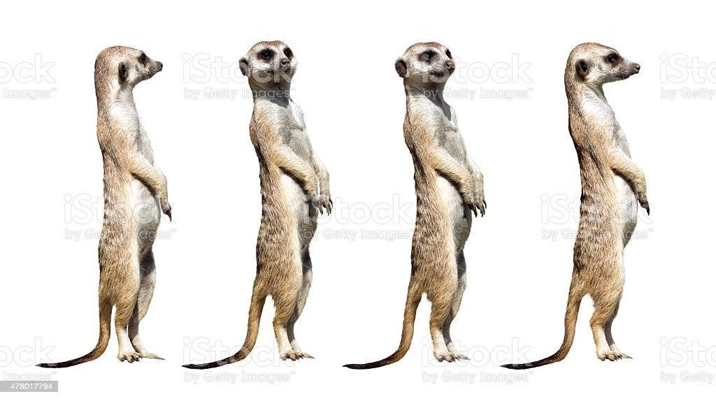 why do meerkats have different alarm calls Natural world: meerkats - the secrets of an animal superstar these furry celebrities are part of the longest running study of animal behaviour ever discover the experiments that have enabled.