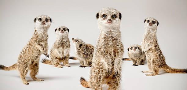 meerkats - meerkat stock photos and pictures