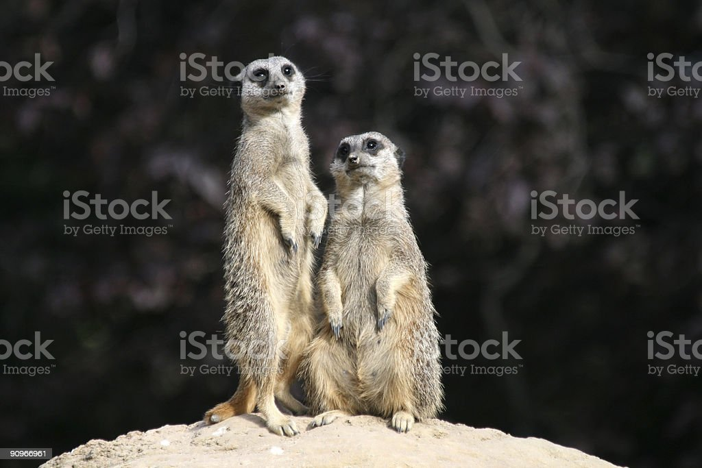 Meerkats sentinels stock photo
