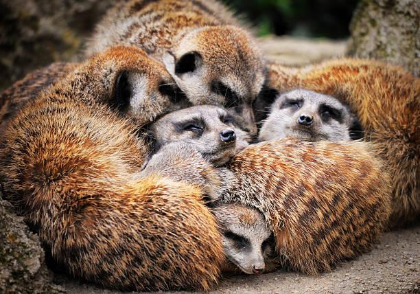 meerkats sleeping - meerkat stock photos and pictures