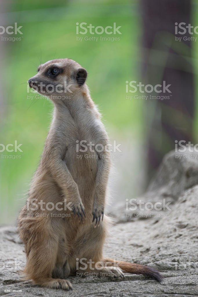 suricatas de pie alerta foto de stock libre de derechos