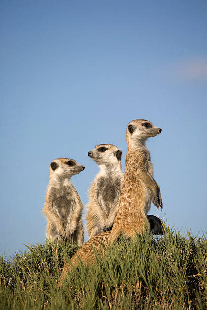 3 meerkats standing sentry with one lower on grassy hillock - meerkat stock photos and pictures