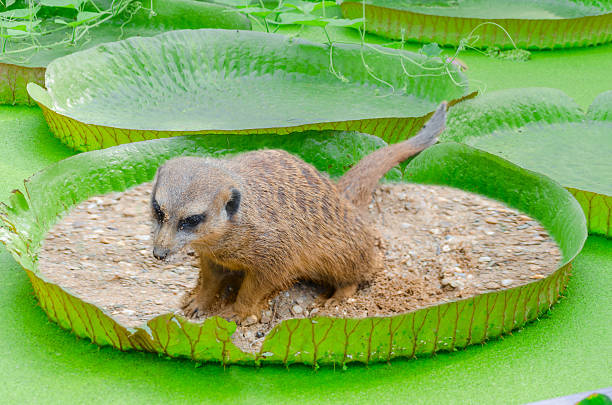 Meerkats WC Meerkats toilet. Ermännchen on a lily pad  With the largest leaves in the world, the Victoria water lily or even the Amazon water lily called. victoria water lily stock pictures, royalty-free photos & images