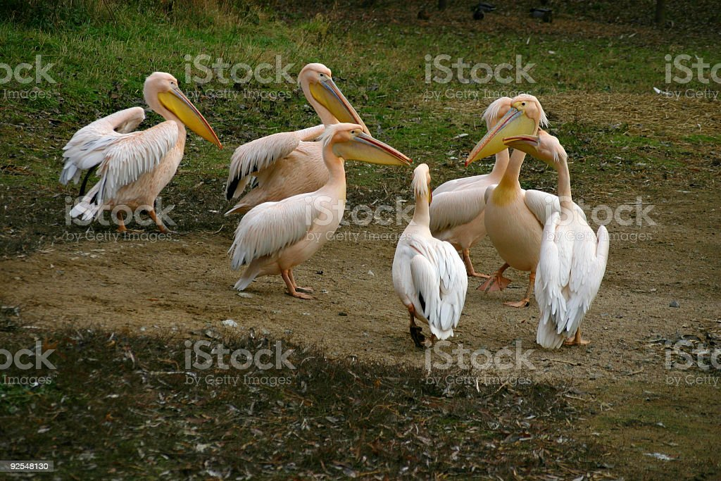 Meeting of the pink pelicans royalty-free stock photo