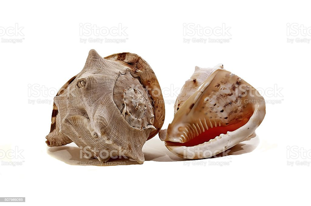 Meeting of two different colored sea shells stock photo