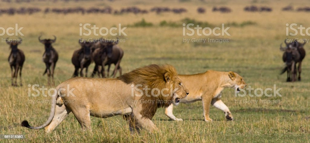 Meeting the lion and lioness in the savannah. stock photo
