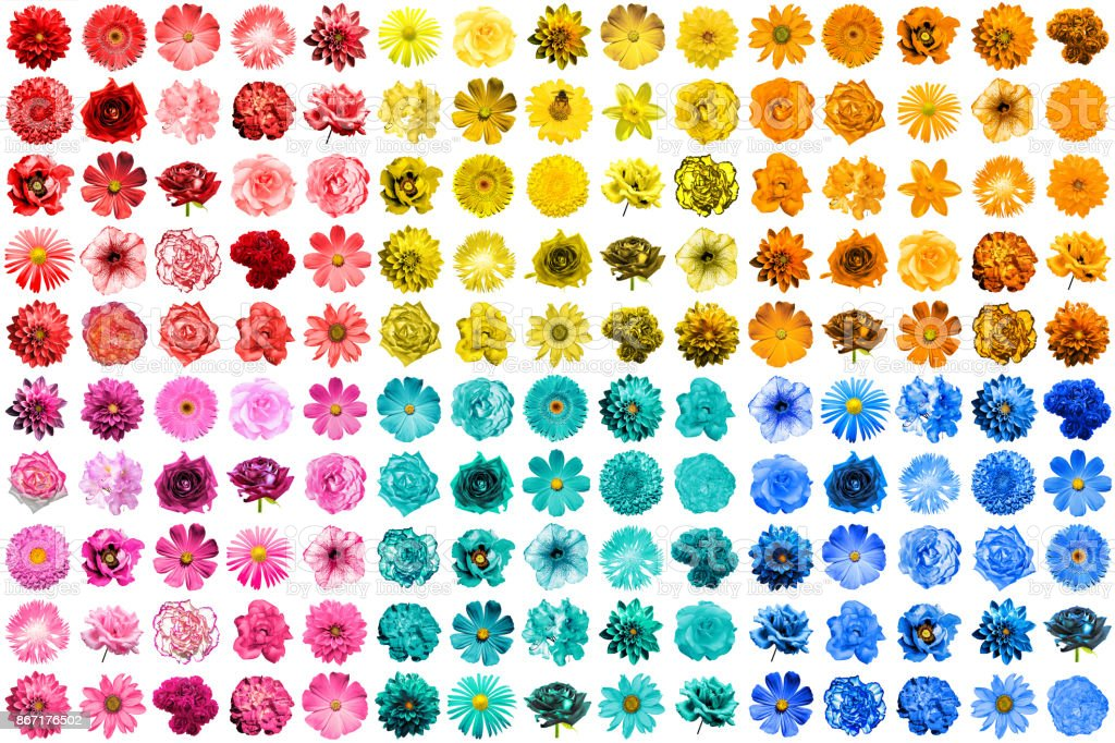 Mega pack of 150 in 1 natural and surreal blue, yellow, red, pink, turquoise and orange flowers isolated on white stock photo