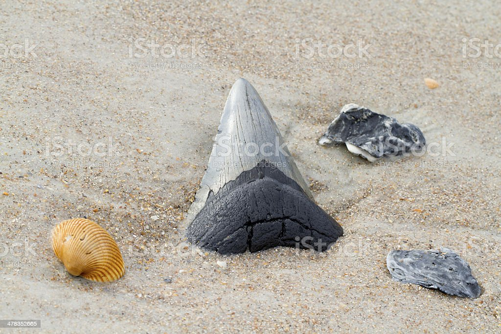 Megalodon Shark Tooth in Beach Sand stock photo