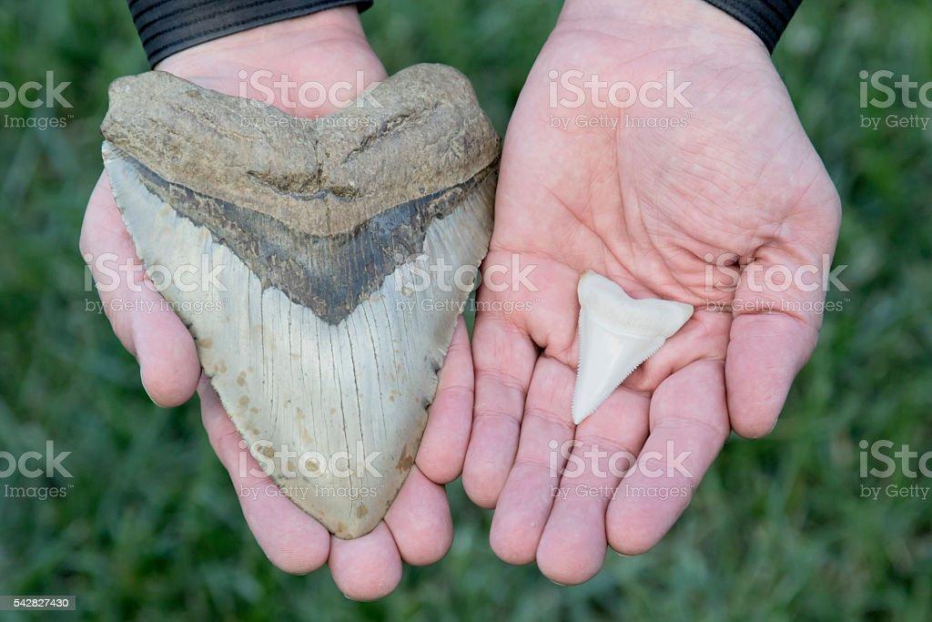 Megalodon Tooth VS Great White Shark stock photo