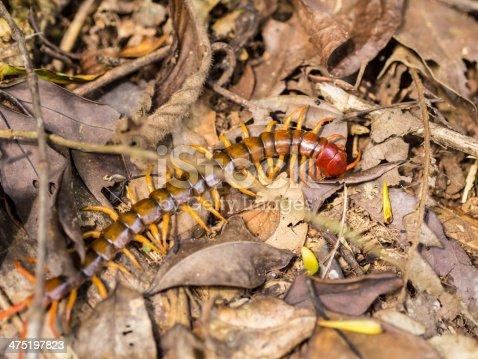 Megarian banded centipede (scolopendra cingulata)