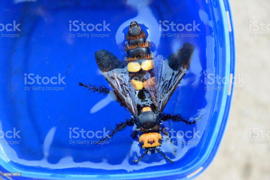 Megascolia maculata. The mammoth wasp. stock photo