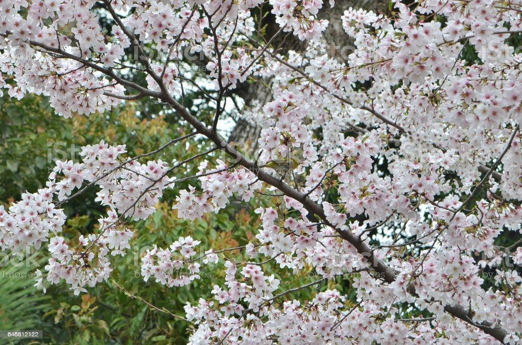 Meijiro (Japanese white eye bird) camouflaged among Sakura (cherry blossoms) near Fujinomori, Kyoto, Japan. stock photo