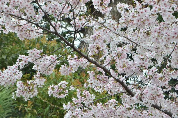 meijiro (japanese white eye bird) camouflaged among sakura (cherry blossoms) near fujinomori, kyoto, japan. - rosa tarnfarbe stock-fotos und bilder