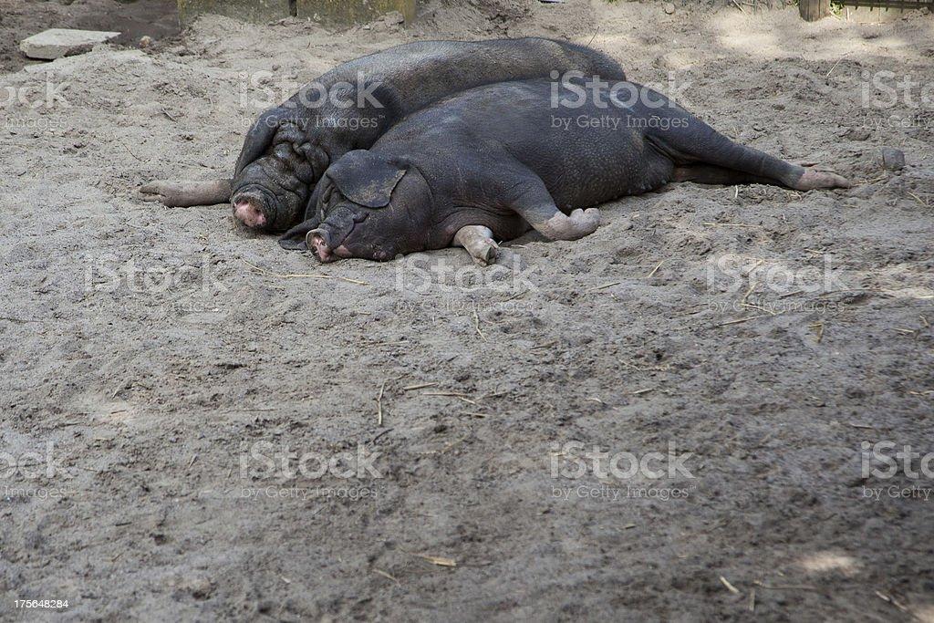 Meishan-Schweinen sind ein Nickerchen – Foto