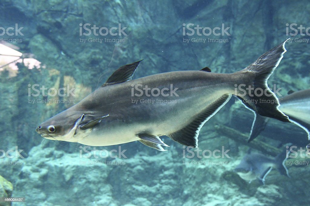 Mekong Giant Catfish from the side stock photo