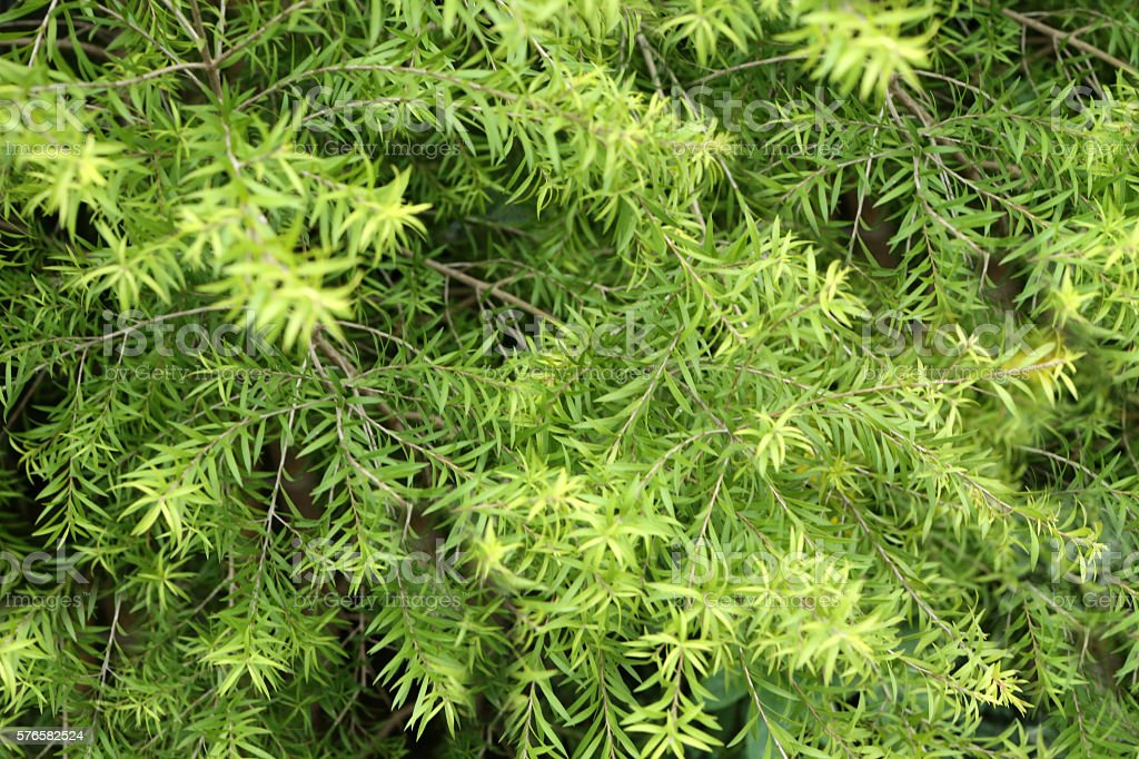 melaleuca bracteata stock photo